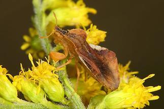 Phymata crassipes - Teufelchen, Wanze auf Blüte (2)