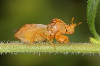 Phymata crassipes - Teufelchen, Wanze auf Stengel