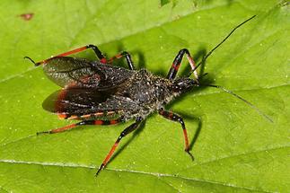 Rhinocoris annulatus - Geringelte Mordwanze, Wanze auf Blatt (3)