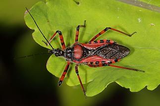 Rhinocoris iracundus - Rote Mordwanze, Wanze auf Blatt (2)