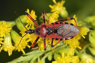 Rhinocoris iracundus - Rote Mordwanze, Wanze auf Goldrute