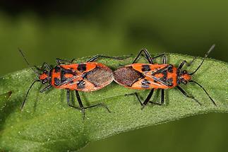 Corizus hyoscyami - Zimtwanze, Paar