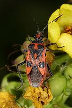 Corizus hyoscyami - Zimtwanze, Wanze auf Knospen