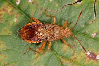 Rhopalus maculatus - kein dt. Name bekannt