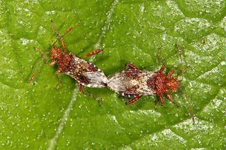 Rhopalus subrufus - Hellbraune Glasflügelwanze, Paar