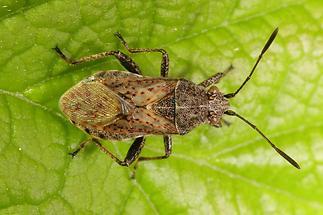 Stictopleurus punctatonervosus - kein dt. Name bekannt (1)