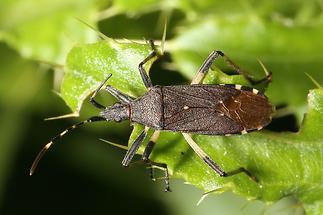 Dicranocephalus albipes - kein dt. Name bekannt