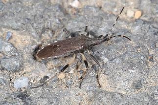 Dicranocephalus albipes - kein dt. Name bekannt, Wanze auf Fahrweg
