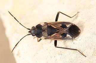 Rhyparochromus vulgaris - Gemeine Bodenwanze, Wanze auf Mauer
