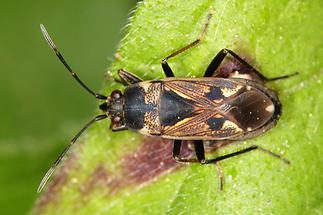 Rhyparochromus confusus - kein dt. Name bekannt, Wanze auf Blatt