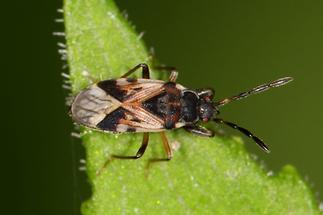 Scolopostethus affinis - Nesselwicht, Wanze auf Blatt