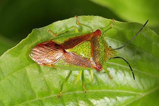 Acanthosoma haemorrhoidale - Wipfel-Stachelwanze, Wanze auf Blatt (1)