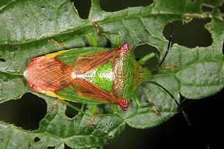 Acanthosoma haemorrhoidale - Wipfel-Stachelwanze, Wanze auf Blatt (2)