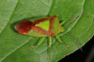 Acanthosoma haemorrhoidale - Wipfel-Stachelwanze, Wanze auf Blatt (3)