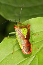 Acanthosoma haemorrhoidale - Wipfel-Stachelwanze, Wanze auf Blatt (5)