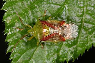 Elasmostethus interstictus - Bunte Blattwanze, Wanze auf Blatt