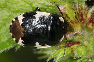 Tritomegas bicolor - Schwarzweiße Erdwanze, Wanze auf Blatt