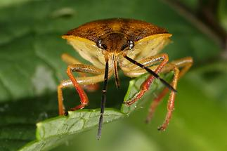 Carpocoris purpureipennis - Purpur-Fruchtwanze, Wanzenportrait