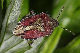 Dolycorus baccarum - Beerenwanze, Wanze auf Blattspitze