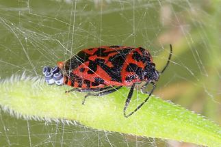 Eurydema ventrale - kein dt. Name bekannt, Weibchen bei der Eiablage
