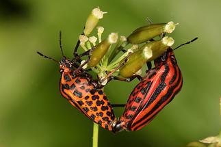 Graphosoma ornatum - Streifenwanze, Paar (2)
