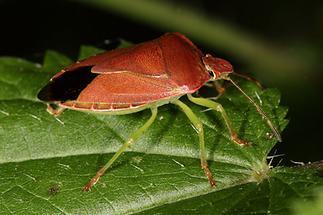 Palomena prasina - Grüne Stinkwanze, Herbstform (2)