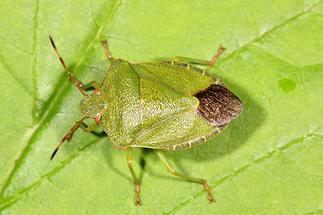 Palomena prasina - Grüne Stinkwanze, Wanze auf Blatt (1)