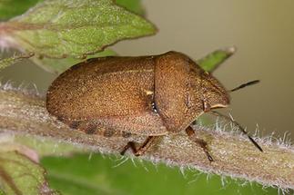 Eurygaster testudinaria - Riedgräserwanze, Schildkrötenwanze, Wanze auf Stängel