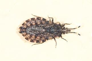 Aradus betulae - kein dt. Name bekannt