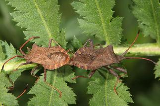 Coreus marginatus - Lederwanze, Paar