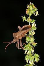 Coreus marginatus - Lederwanze, Wanze auf Blüte