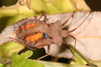 Coreus marginatus - Lederwanze, Wanze zeigt rote Seite unter Flügel
