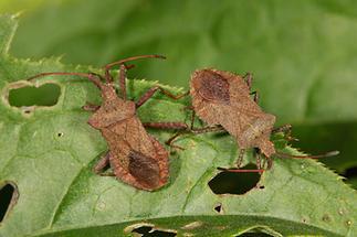 Coreus marginatus - Lederwanze, zwei Wanzen