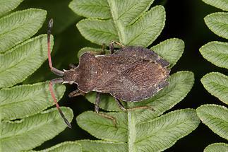 Enoplops scapha - kein dt. Name bekannt, Wanze auf Blättern