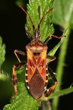 Leptoglossus occidentalis - Amerikanische Kiefern-, Zapfenwanze, Wanze auf Blatt
