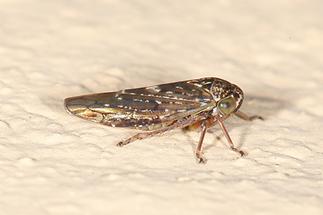 Acericerus heydenii - Bergahorn-Winkerzikade