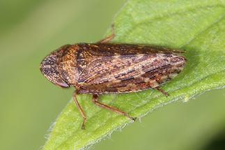 Aphrodes bicincta - Triftenerdzikade