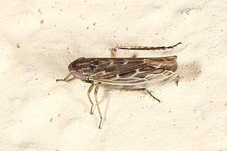Arocephalus longiceps - Kandelaber-Graszirpe