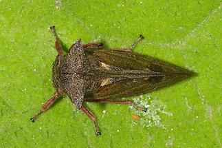 Centrotus cornutus - Dornzikade (2)