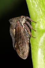 Centrotus cornutus - Dornzikade (3)