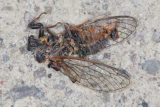 Cicadetta cf. montana - Bergzikade, Unfallopfer