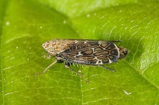 Errastunus ocellaris - Bunte Graszirpe