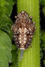 Issus coleoptratus - Echte Käferzikade, Larve (1)