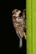Issus coleoptratus - Echte Käferzikade, Larve (2)
