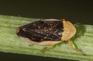 Philaenus spumarius - Wiesenschaumzikade (1)