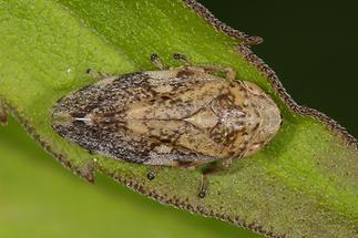 Philaenus spumarius - Wiesenschaumzikade (3)