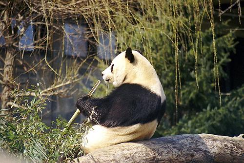 panda bear conservation essays