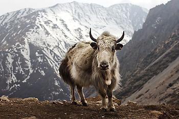 800px-Bos_grunniens_at_Letdar_on_Annapurna_Circuit.jpg
