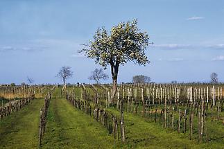 Weingärten bei Illmitz