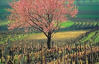 Baum im Weingarten